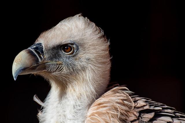 Vulture, Griffon Vulture, Bird, Scavengers, Bill
