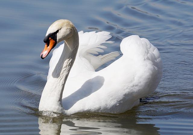 Swan, Bird, Animal World, Nature, Neck, Bill, Waters