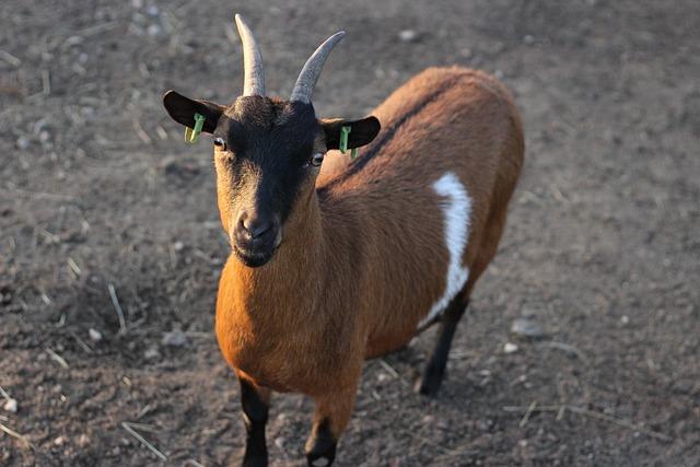 Animal, Goat, Horns, Farm, Billy Goat