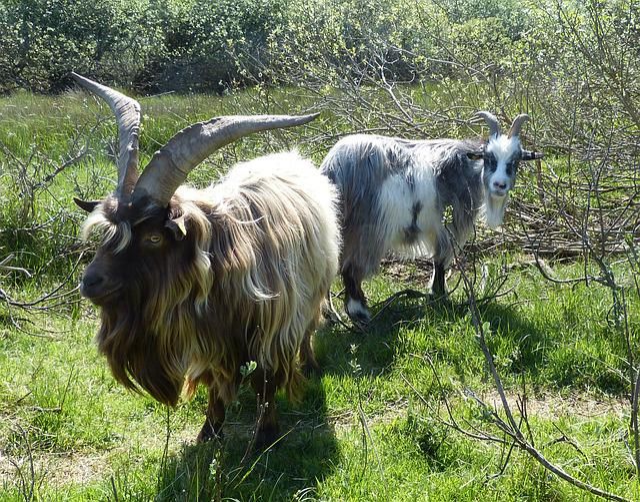 Goats, Billy Goat, Bock, Borkum, Island, North Sea