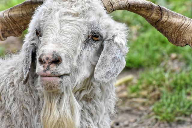 Billy Goat, Cashmere Goat, Wool Goat, Goat, Cute