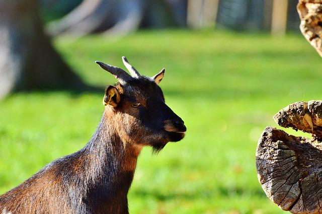 Goat, Livestock, Billy Goat, Domestic Goat, Horns