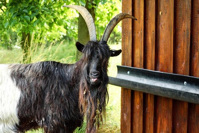 Billy Goat, Goat, Livestock, Bock, Goatee, Zoo