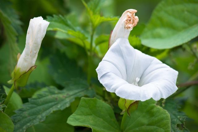 Bindweed, Blossom, Bloom, Bud, Farmland-winds, White