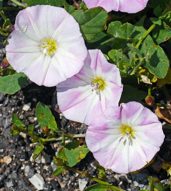 Bindweed, Flowers, Subspecies, Circular, White-violet