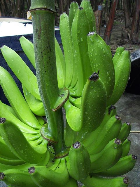 Banana Shrub, Cavendish Variety, Bio, Ecuador, Harvest