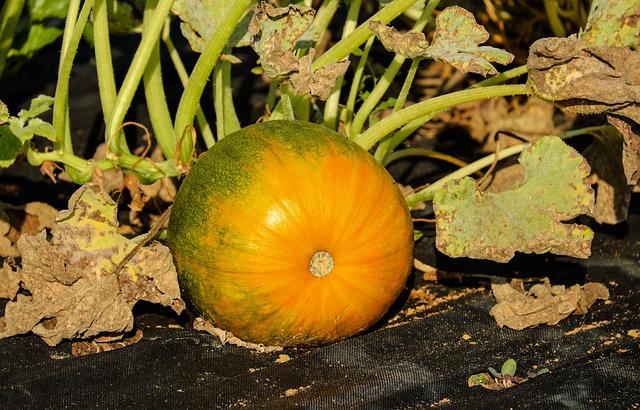 Pumpkin, Vegetables, Orange Green, Bio, Field, Autumn