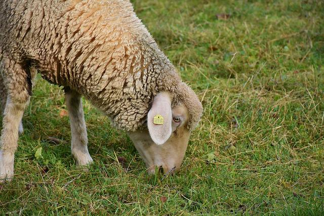 Sheep, White, Animal, Pet, Animal Husbandry, Farm, Bio