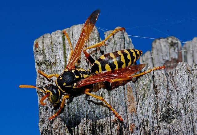 Wasp, Macro, Insect, Nature, Arthropod, Biology, Animal