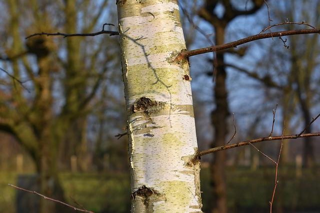 Paper Birch, Birch Tree, Birch, Trunk, Bark, Branch