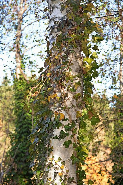 Birch, Fouling, Autumn, Leaves
