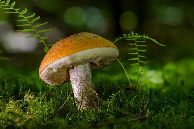 Birch Mushroom, Mushroom, Forest, Delicacy, Noble Rot