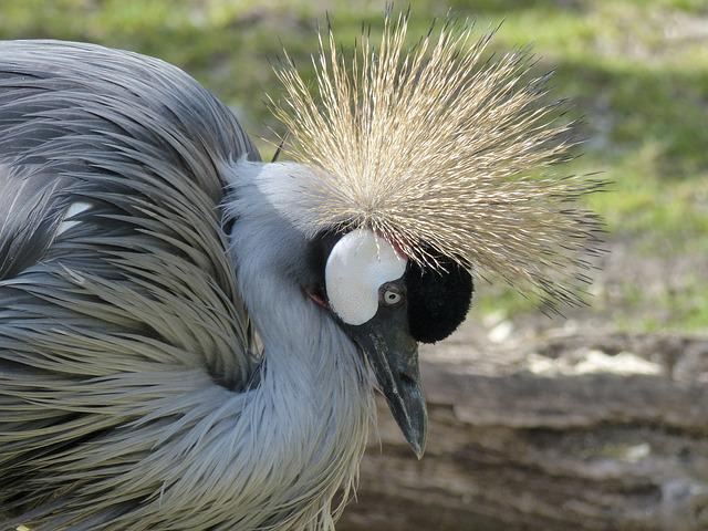 Grey Crowned Crane, Crane, Bird, Africa, Tanzania