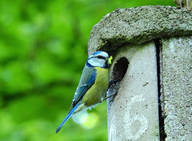 Blue Tit, Songbird, Bird, Animal, Feather, Plumage