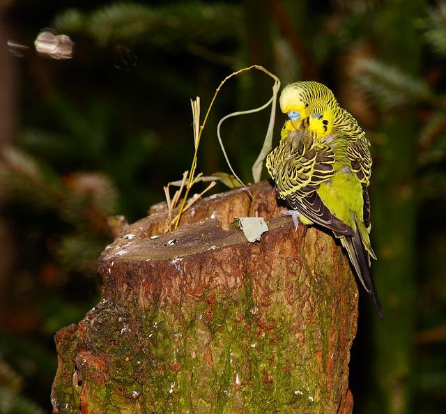 Bird, Budgie, Yellow, Animal, Pet, Animal World, Sit