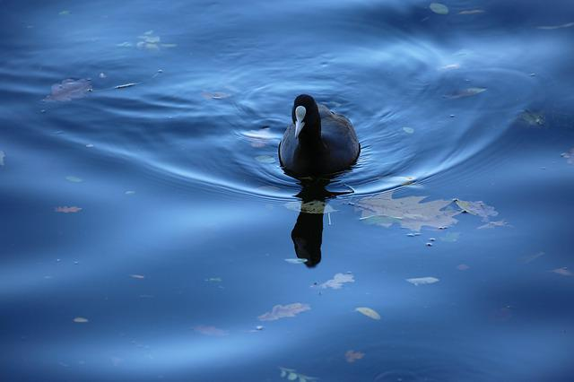 Coot, Bird, Water Bird, Animal, Water, Coots