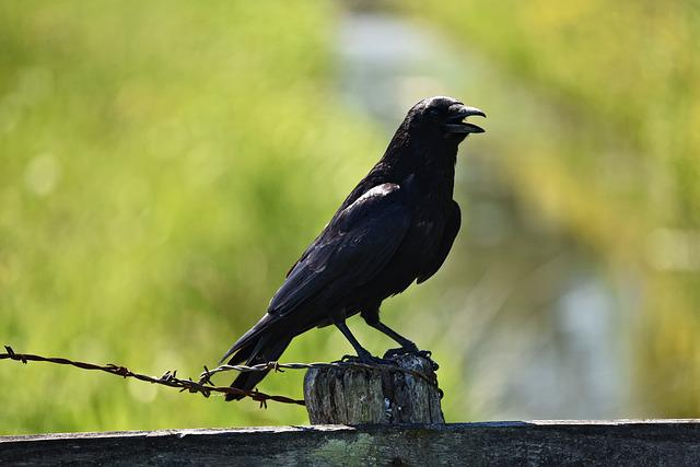 Black Crow, Crow, Bird, Animal, Corvus, Wildlife, Fauna