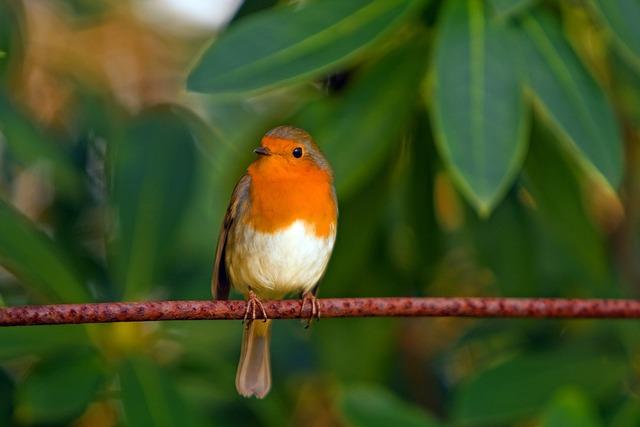 Robin, Bird, Red Robin, Feathered, Animal, Nature
