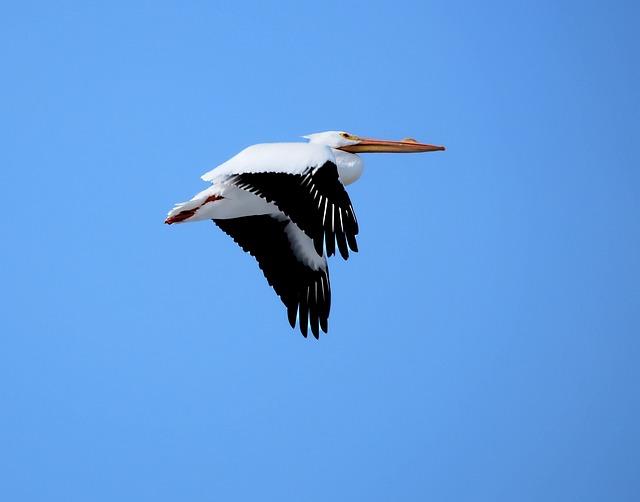 Pelican, Flying, Bird, Flight, Wildlife, Animal, Nature