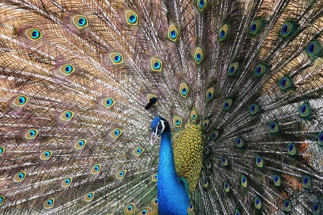 Animal, Bird, Peacock, Peacocks, Indian Peacock