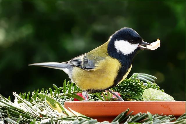 Animal, Bird, Songbird, Tit, Parus Major, Foraging