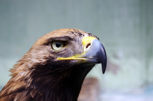 Animal, Bird, Close-up, Eagle, Hawk, Plumage, Wildlife