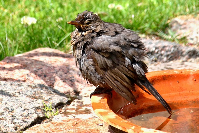 Bird, Blackbird, Songbird, Nature, Black, Swim, Animal