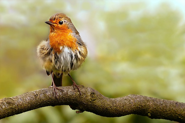 Animal, Bird, Songbird, Robin, Erithacus Rubecula