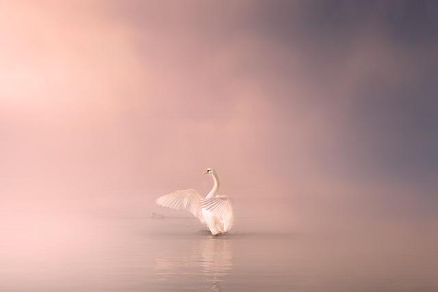 Swan, Lake, Water, Bird, Nature, Animal, White, Elegant