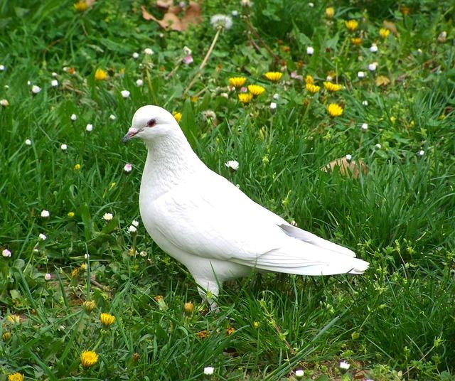 White Dove, Bird, Animal