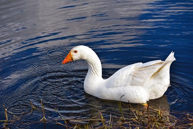 Goose, Water Bird, Bird, Animal, Wildlife, White Goose