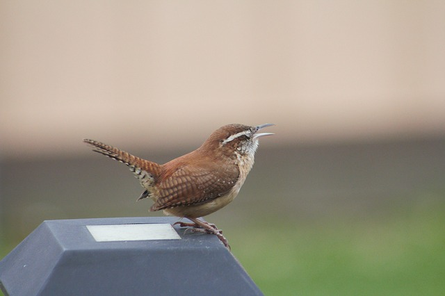Nature, Wildlife, Bird, Animal, Wren