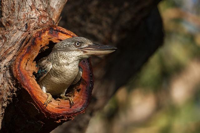 Kookaburra, Australia, Gladstone, Bird, Laughing