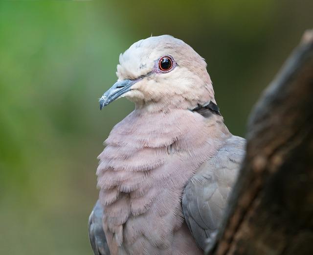 Red-eyed Dove Portrait, Bird, Avian, Animal, Beak, Dove