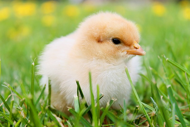 Bird, Chick, Baby Chicken, Young Bird, Baby Bird