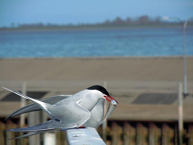 Tern, Balz, Bird