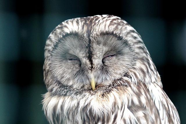 Owl, Bird, Front Disc, Sleeps, Beak, Feathered Race