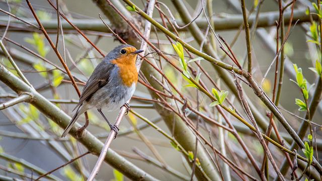 Robin, Erithacus Rubecula, Bird, Small, Beak