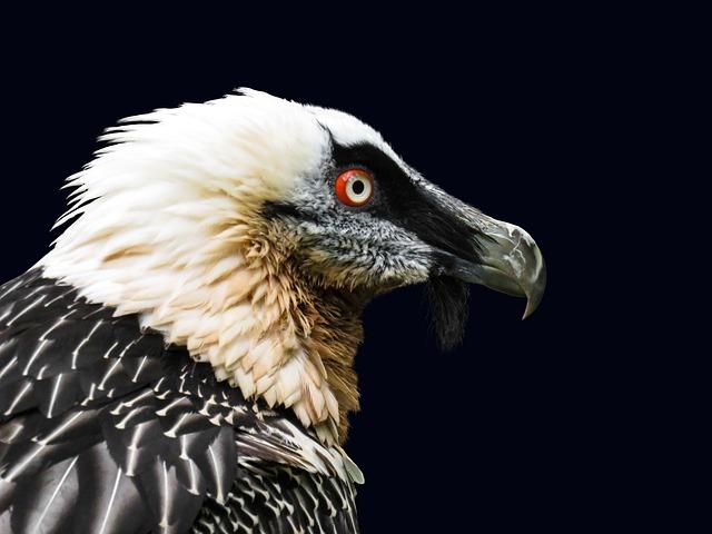 Animals, Bird, Vulture, Bearded Vulture