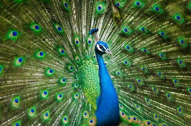 Beautiful Male Peacock, Colorful, Bird, Feather, Zoo