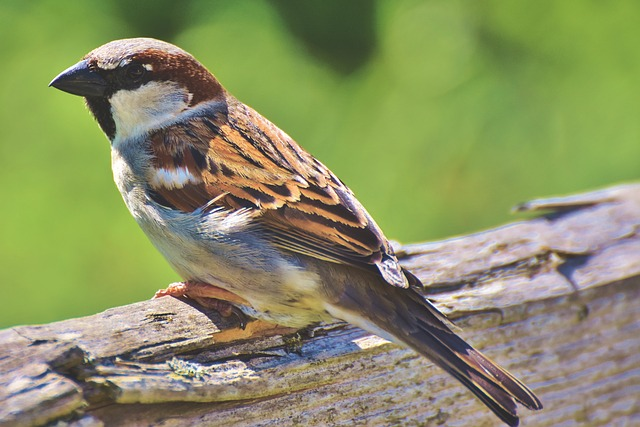 Sparrow, Sperling, Bird, Birdie, Bill, Plumage, Animal
