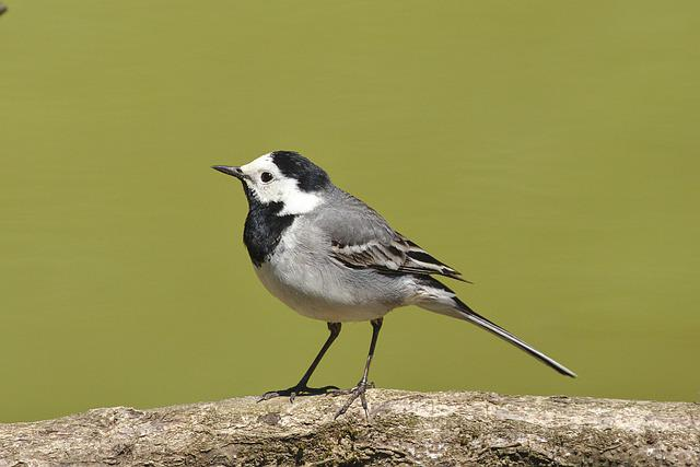 White Wagtail, Bird, Nature, Wildfowl, Feather, Bill
