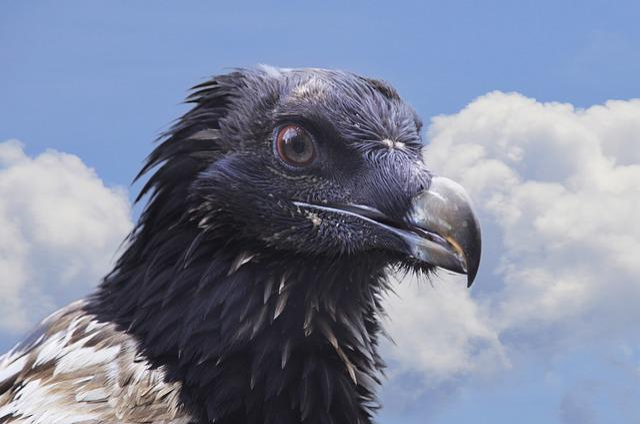 Bearded Vulture, Vulture, Bird, Bird Of Prey