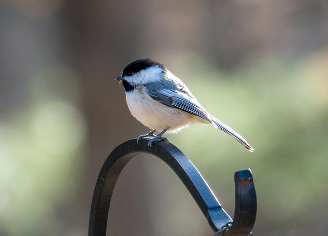 Chickadee, Bird, Bird On The Tree, Little Bird