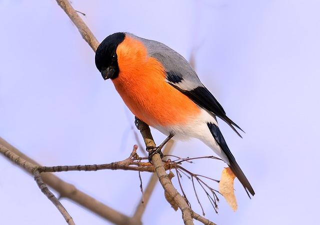 Bullfinch, Bird, Bird Watching, Nature, Animal, Wild