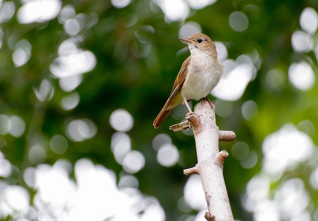 Nightingale, Bird, Bird Watching, Wild Bird, Singer
