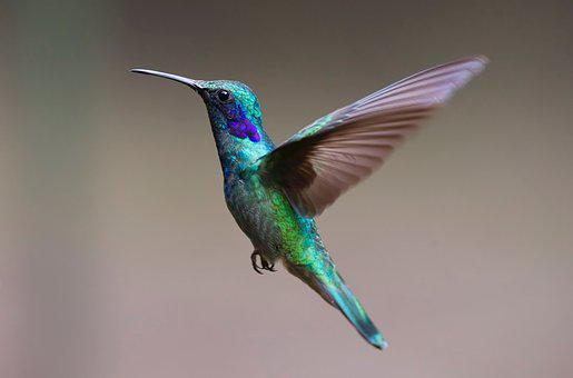 Hummingbird, Bird, Birds