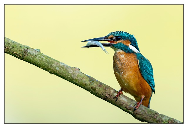 Kingfisher, Bird, Birds