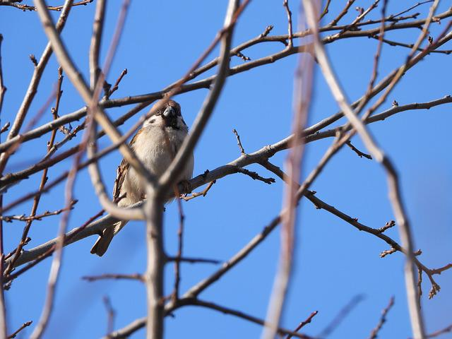 Birds, Wróbelek, The Sparrow, Bird, Nature, Pen, Wings