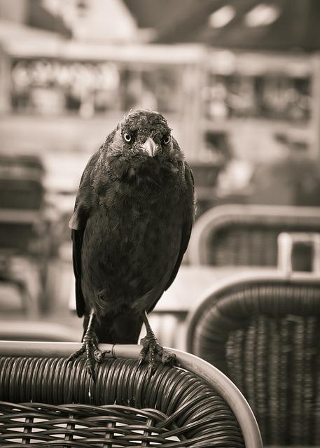 Jackdaw, Bird, Black, Crow, Corvidae, Corvus Monedula